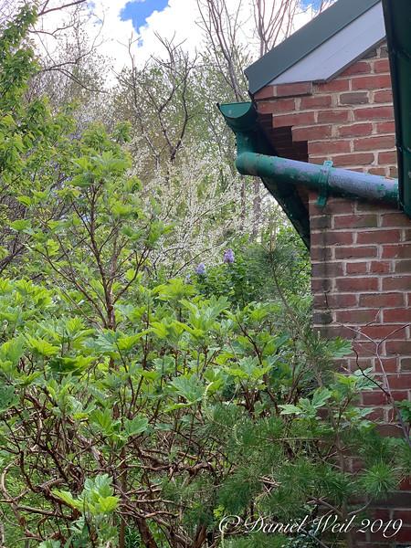 Oak leaf hydrangea, blue lilac, white redbud 4/21/19