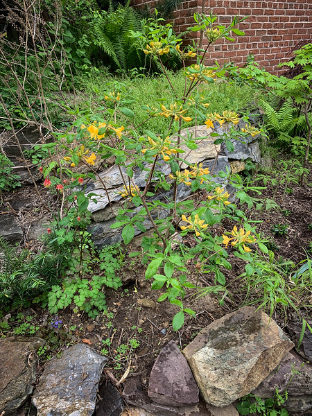Yellow azalea, Aquilegia canadensis, NW of garage 4/26/19