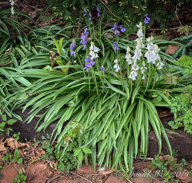 Woods hyacinths c'yard W side, 4/22/19