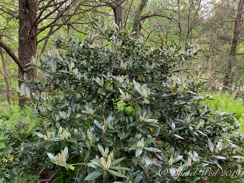 Prunus 'Otto Lukyens'- a real workhorse 4/21/19