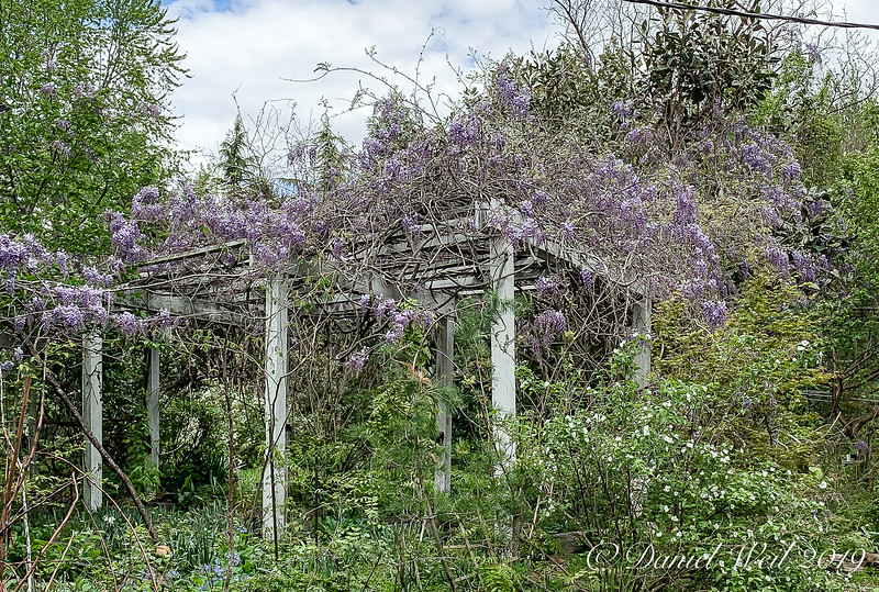 Wisteria on arbor E of g'house; white is Rhodotyhos scandens 4/21/19
