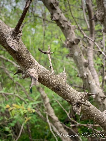 Zanthoxylum americanum thorns- 4/22/19
