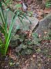 Dark leafed strawberry begonia, N of W link, 4/26/19