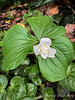 Double trillium; N side of E wing, Asarum pulchellum underneath 4/24/19