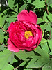 Tree peony N of middle entrance to small arbor, 4/24/19