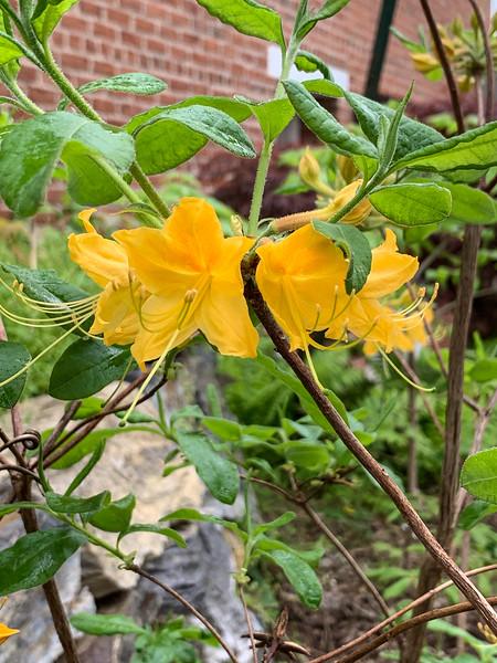 Yellow azalea NW of garage, 4/26/19