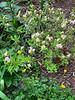 Rose flrd azalea S of library, ranunculus  4/26/19
