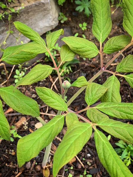 Tree peony seedling ex A.F.  tiny bud, prob will not flr, 4/26/19