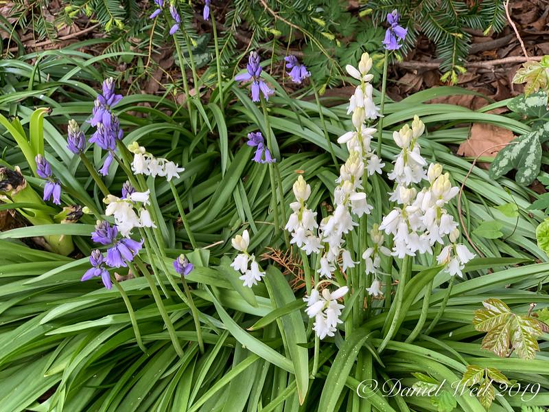 Woods hyacinths 4/22/19