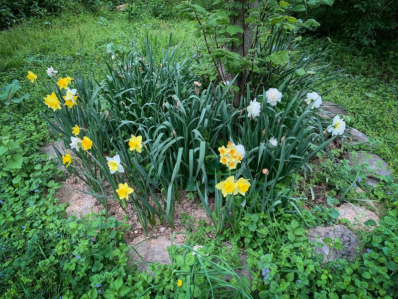 Mixed daffs around linden, Shade Room.  First year, so v.late 4/26/19