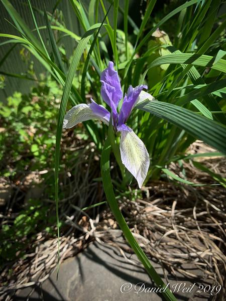 Iris lactea ex Alice Nicolson S of g'house 4/20/19