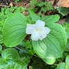 Double trillium and fuzzy Asarum pulchellum S of N walk first addn end Apr 2019