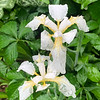 Iris tectorum white, chicken house walk, early may 2019