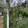 Clematis montana cv on Red Eden cl rose, large arbor