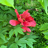 Red tree peony end Apr 2019
