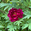 Darj tree peony end Apr 2019