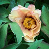 Gold tree peony E side Dan's studio 5/6/19