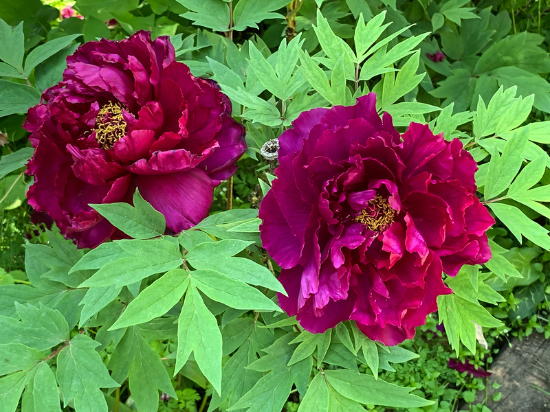 Purple tree peony end apr 2019