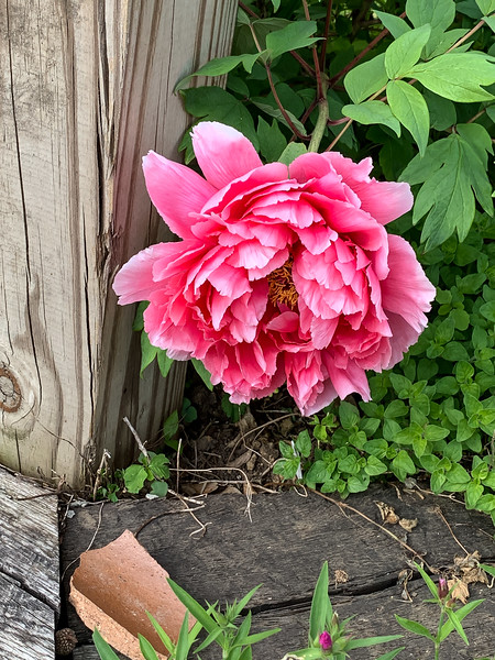 Tree peony head of library steps end Apr 2019