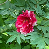 Tree peony Shimanishiki E of small arbor end apr 2019