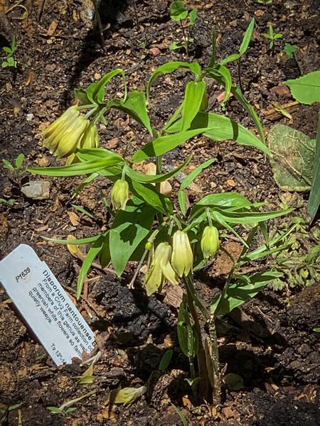Disporum nantouense newly planted end Apr 2019