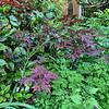 Red maple S of entr to Secr Garden