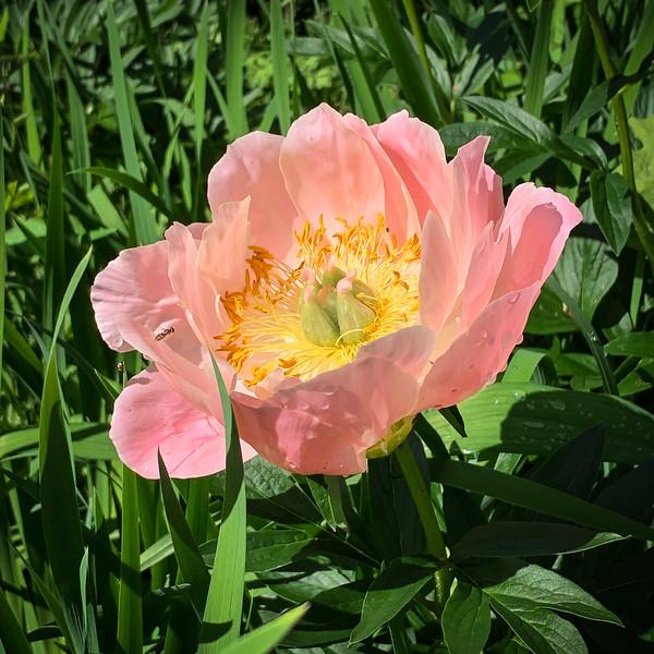 Herb. peony courtyard 5/6/19