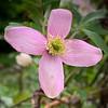 Clematis montana r. cv. large arbor end apr 2019