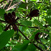 Calycanthus floridus, here when we arrived.  5/6/19