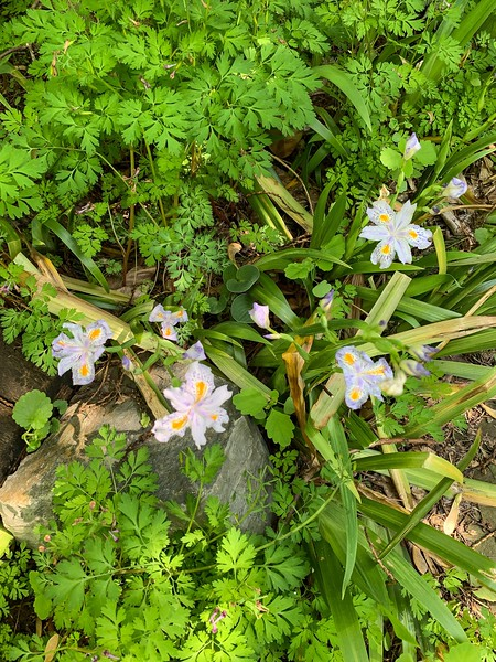 Iris japonica N edge Crater I think, end Apr 2019