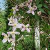 Clematis montana cv lg arbor end apr 2019