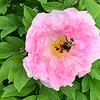 Pink tree peony, bumblebee, end Apr 2019