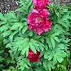 Tree peony S of library end Apr 2019