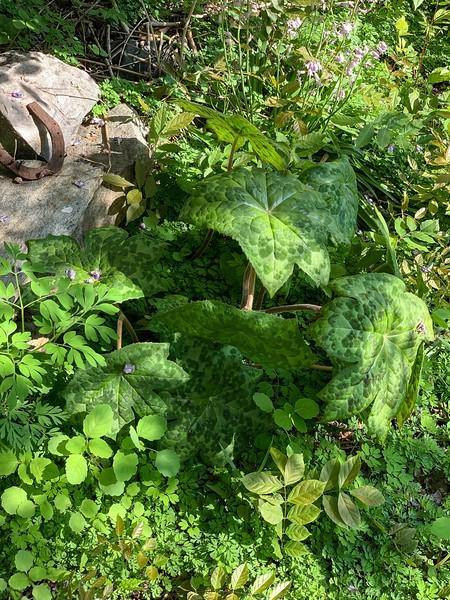 Podophyllum, under S end sm arbor, end of Apr 2019