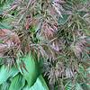 Red maply, hosta N of entr to Secr Garden 5/6/19