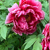 deep pink tree peony beginning May