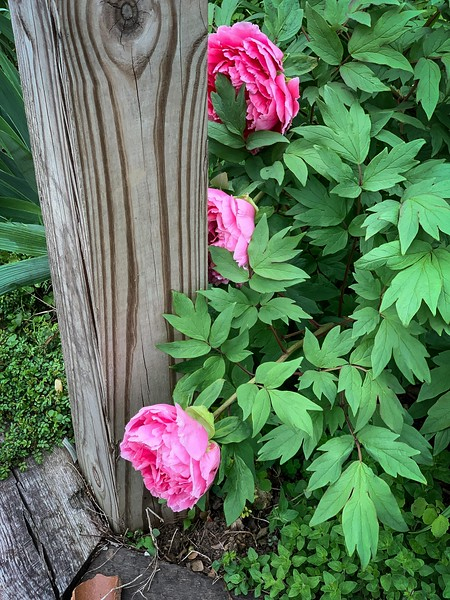 Tree peony head of library stairs, to L mini groundcover rose ex AMSprott end Apr 2019
