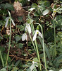 Blowup of Montrose snowdrops, S of chicken house