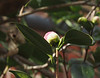 Camellia bud opening, E of dining room
