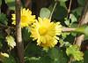Anemone type mum ('Thanksgiving'?) under winter honeysuckle