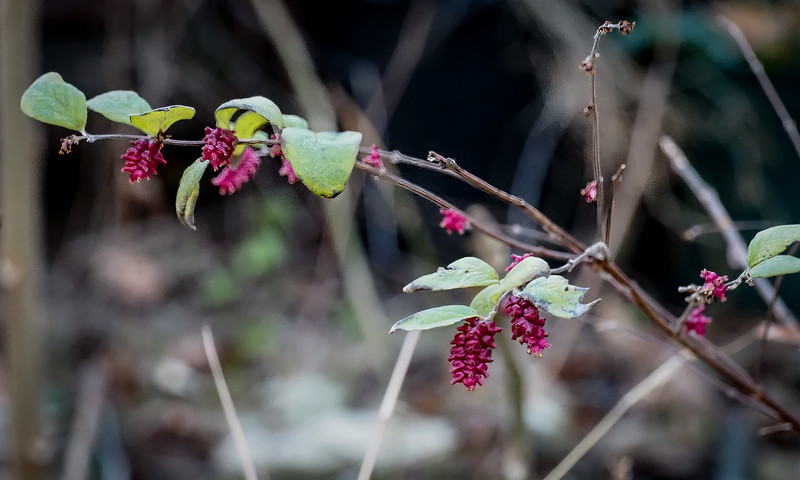Probably a stunted coralberry?