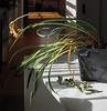 Orange Cyrtanthus, living room