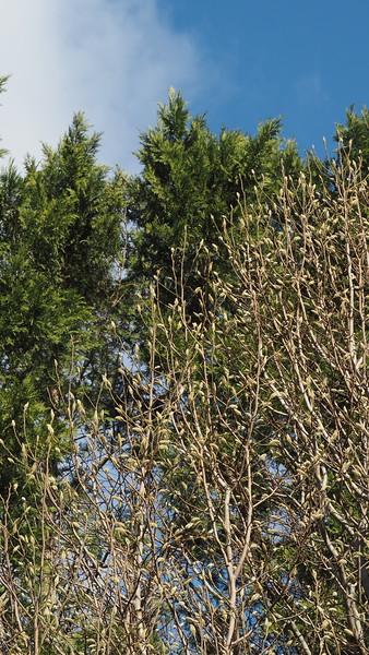 Wada's Memory magnolia, between Shade Room and highway lane
