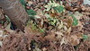 Bleached maidenhair fern and variegated Daphne under Tai-haku cherry