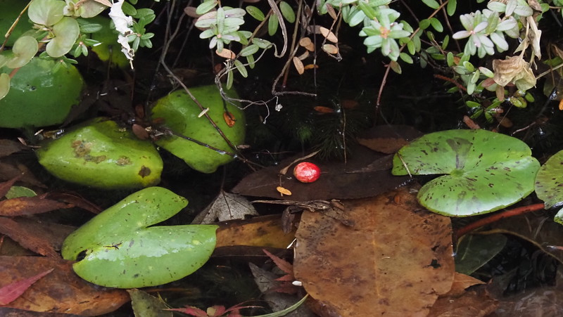 You know it's autumn when the cranberry harvest floats in the bog....