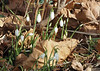 January type snowdrops, a month early.