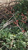 Winterberry holly, highway bed
