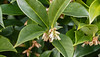 Open bloom on Sarcococca confusa, SE corner of guest room.  Takes sun quite well, I might add.