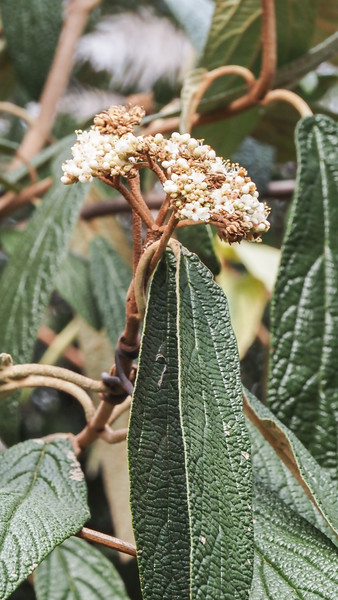 Bloom on variegated leatherleaf viburnum.. although you'd never know it was variegated from THIS picture.  Got to go in there and rogue out the green.