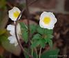 The new anemone 'Honorine Jobert' blooming, E of dining room
